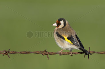 Goldfinch (Carduelis carduelis) Finch perched on a barbed wire  England  Spring