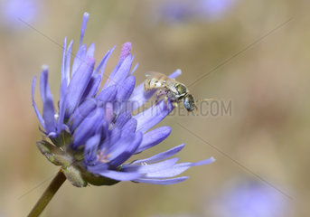 Sweat Bee (Nomioides minutissimus) on Sheep's-bit flower  atural Park of the Vosges du Nord  France
