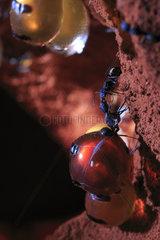 The Honey Ants Dream. Les travailleuses  nettoient les pots de miel et à l?aide de leurs antennes grattent le cou de la fourmi reservoir. À la fin du nettoyage  les fourmis reservoirs ouvrent leurs mandibules et donnent l?acces à un bouchon à l?interieur de leur bouche et une goutte de nectar sort de leur bouche pour nourrir les travailleuses. Northern Territory  Australia