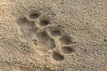 Sri Lankan Leopard Panthera pardus kotiya)  print on the sand  Wilpattu national patk  Northwest Coast of Sri Lanka  Sri Lanka