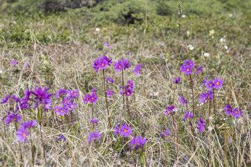 Wedgeleaf Primrose (Primula cuneifolia)  Magadan Oblast  Siberia  Russia
