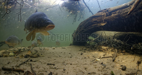 Leather carp (cyprinus carpio carpio) in the river Cher  Loir-et-Cher  France