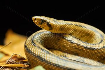 Ladder snake (Rhinechis scalaris) on black background  Montpellier  Occitanie  France