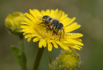 Spined Mason Bee (Osmia spinulosa) on flower of Meadow False Fleabane (Pulicaria dysenterica)  Regional Natural Park of the Vosges du Nord  France