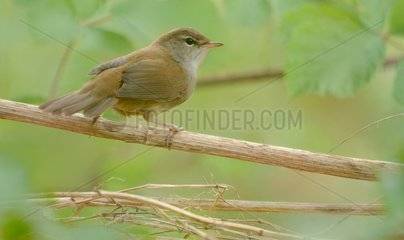Cetti's Warbler on a branch - Belgium