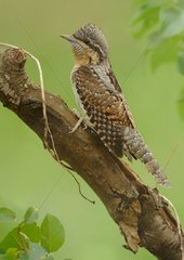Wryneck on a branch - Belgium