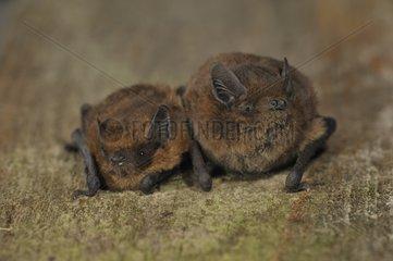 Nathusius' Pipistrelles - Belgium