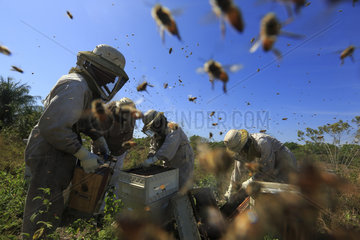 Killers Africanized Honeybees. For an hour now  the bees' attack has not faltered. Behind the masks  faces are drawn and the odor of the venom is everywhere. Panama