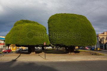 Cypress secular - Punta Arena Patagonia Chile