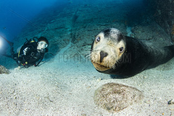 Adult male of California sea lion  (Zalophus californianus) and scuba diver  Los Islotes  Sea of Cortez  Baja California  Mexico  East Pacific Ocean