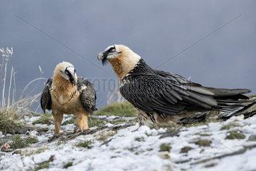 Lammergeier (Gypaetus barbatus)  adult pair in falling snow  Spanish Pyrenees