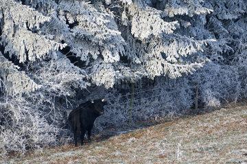 Bull (Bos taurus) in a frosty meadow  Lorraine  France
