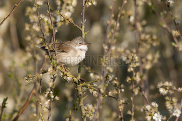 Whitethroat (Sylvia communis) Whitethroat perched in a blackthorn bush  England  Spring