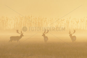 Fallow Deers (Cervus dama) on misty morning at sunrise  Hesse  Germany  Europe