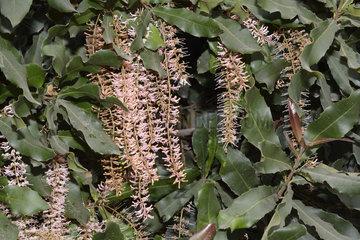 Queensland Nut Tree (Macadamia integrifolia)  Flowering  Villa Alemana - V Region of Valparaíso - Chile