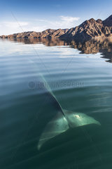 Tail of Fin whale with the land behind - Gulf of California