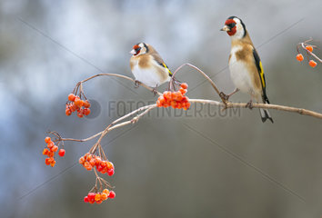 Couple of Goldfinches (Carduelis carduelis) on a branch of Mooseberry  Regional Natural Park of the Vosges du Nord  France