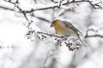 Pine Grosbeak female eating berries in winter - Finland
