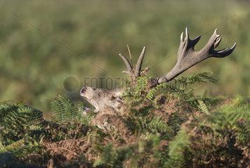 Red deer (Cervus elaphus) Red deer amongst bracken  England  Autumn