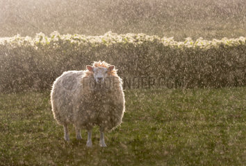 Sheep ( Ovis aries) Sheep standing in the rain  England  Spring