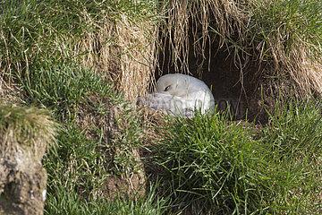 Northern Fulmar (Fulmarus glacialis) at nest  Iceland
