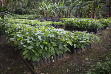 CIAT nursery  Agronomic and Technical Industrial Research Center  Bela Vista Village  Sao Tome and Principe Island