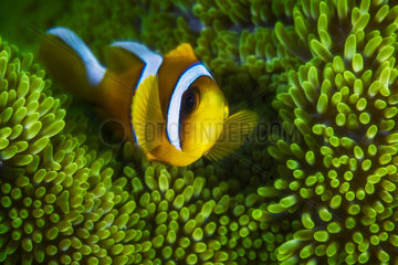 Young Mauritius clownfish (Amphiprion chrysogaster) in a green sea anemone  Mayotte  Indian Ocean
