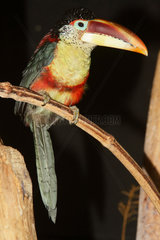 Curl-crested Aracari (Pteroglossus beauharnaesii) on a branch