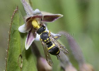 Ornate Tailed Digger Wasp (Cerceris rybyensis) female on Marsh Helleborine (Epipactis palustris)  Mercantour  Alps  France