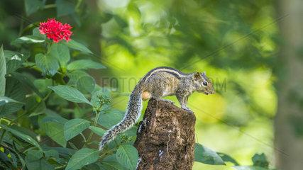 Indian palm squirrel (Funambulus palmarum) on a branch  Minneriya National Park  Sri Lanka