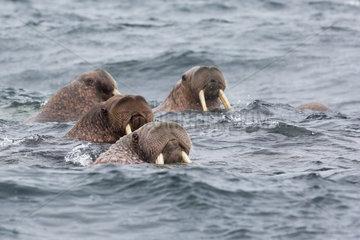 Pacific Walrus (Odobenus rosmarus divergens) in water  Kolyuchin  Chukotka  Russia