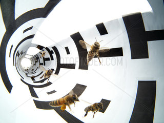 Apidologie - Bees in a flight tunnel. This procedure was used to show that the evaluation of distance by bees proceeds from their visual system. And through the white and black stripes  its has been shown that it also depends on the landscape's structure. This experiment was carried out by then calculating the length of the bees's dance in relation to the food source of which the distance was identified. /