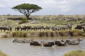 Wildebeests and Zebras at the river Mbalagetti - Tanzania