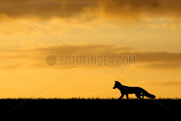 Red Fox silhouette at sunset in summer - GB
