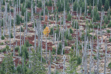 Conifer forest destroyed by bark beetle without any human intervention and now regenerating  Bavaria (at the border with Czech Republic  Germany