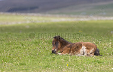 Shetland poney (Equus caballus) Young poney sleeping in a meadow  Shetland  Spring