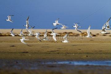 Sandwich Tern in flight - Andalusia Spain