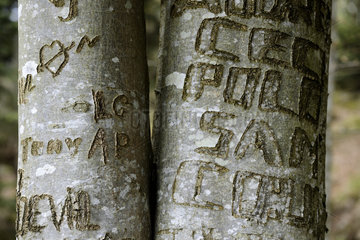 Graffiti carved on the beech trunks - Vosges France