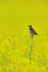 Winchat female on rapeseed flowers - France