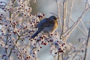Fieldfare (Turdus pilaris) on a frosty hawthorn   Lorraine  France