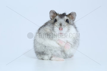 Domestic Russian Hamster (Phodopus sungorus) face on white background