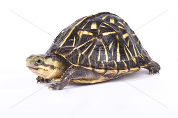 Florida box turtle (Terrapene carolina bauri) on white background