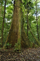 Foothills tree in undergrowth - Tresor Reserve French Guyana