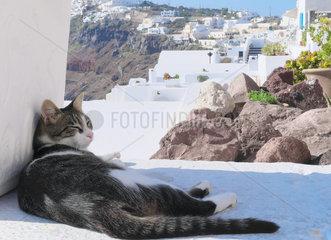 European-style cat sitting in the shade  Santorini  Cyclades  Fira  Greece.