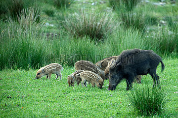 Wild boar (Sus scrofa) and young  Ardenne  belgium