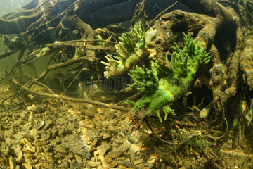 Freshwater sponge (Spongilla lacustris) in a branched form in the river Cher  Loir-et-Cher  France