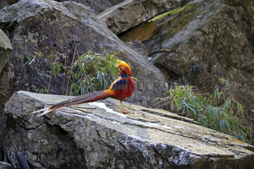 Golden pheasant or Chinese pheasant (Chrysolophus pictus)  Qinling Mountains  Shaanxi province  China