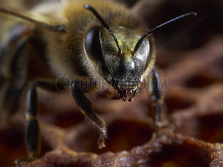 Honey bee (Apis mellifera) - A bee on the wax cells. We can see pollen on its head  which indicates that this bee is a pollen stock keeper who packs it into the cells with its head. The worker bees perform this function 15 days after their birth.