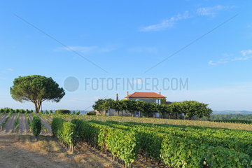 Vines and vineyards of the AOC Sauternes. Commune of Fargues  Gironde (33)  France