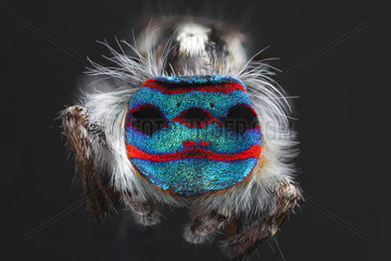 A shot showing the back patterns and colours of a Male Maratus speciosus peacock spider .